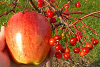 The only real difference between the Gala apple at left and the crabapples at right are the size of the fruit.