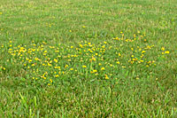 A liquid weedkiller is more effective for treating isolated spots of weeds in a lawn.