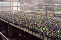 Despite growers producing tens of thousands of leadwort each year, it remains uncommon in Central New York landscapes.