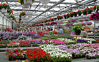 Central New York greenhouses are packed to the roof with tarys, pots and hanging baskets overflowing with colorful annuals in early May!