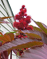 The ripening seed pods of castor bean often turn blood-red!