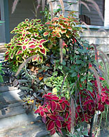 Annual fountaingrass, coleus, fuschia and sweetpotato vine are staples in the containers lining the stairs leading to our front porch.