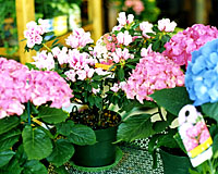 Florist azaleas and hydrangea can be kept for years with proper care.