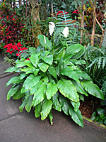 This peace lily in the Lamberton Conservatoy in Rochester is over four feet tall.