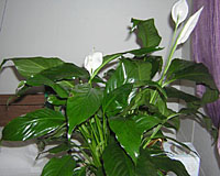 Peace lily is one of the most common of all houseplants, but can be difficultto grow well.