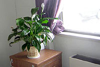 Peace lilies do not grow well near drafty windows and radiators.