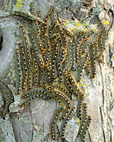 Forest tent caterpillars could be found covering the trunks of trees throughout Central New York during the early summer of 2006.