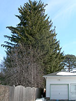 Norway spruce trees are not a good choice for a privacy screen in typical residential properties!