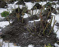 Several shovelfuls of soil or mulch piled over the base of roses will protect bud unions from bitter temperatures.