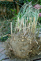 How And When To Cut Back And Divide Ornamental Grasses Terry L