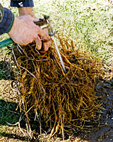 Washing the soil from the roots of gift plants can remove clinging weed seed and root pieces.