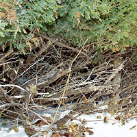 "Cut back into the ""dead"" zone with hedge shears, new growth will never cover the bare stubs at the base of this juniper."