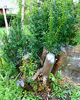 How To Prune Evergreen Shrubs Terry L Ettinger Horticulture