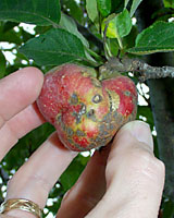 Infestation by apple maggots and coddling moth, as well as infection by apple scab has made this apple unedible.