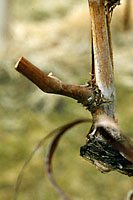 Only a couple of inches long and consisting of only two buds, renewal spurs are the key to fruit production in future years.