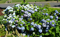 Bigleaf hydrangea can produce stunning blue or pink flowers following mild winters.