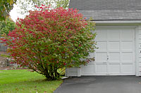 This burning bush is about two-thirds of its potential size.