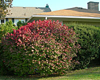 Burning bush as well as many evegreens grow much too large to be used as foundation plantings.