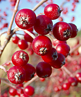 Clusters of bright red chokeberry fruit really stand out against a backdrop of snow, evergreens or tall ornamental grasses from November to February.