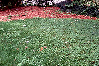 Because of its spreading habit, groundivy can creep out into the edges of lawns from infested landscape beds.