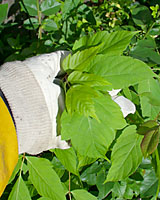 Wipe the herbicide-saturated glove over the leaves of the target weed without pulling it out of the ground.