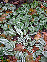 The leaves of hardy cyclamen show a range of sizes, form and markings.
