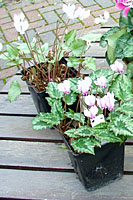 Potted tubers are the best way to establish hardy cyclamen in your landscape or garden.