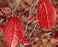 The brilliant red fall foliage color of red chokeberry rivals that of burning bush.