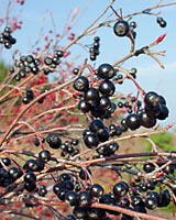 The deep purple to jet black fruit of black chokeberry is reported to have extremely high levels of naturally-occuring antioxidants.