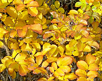 The leaves of frau dagmar hastrup turn golden yellow in October.