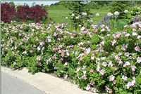 Fraue Dagmar Hastrup rugosa rose thrives alongside roads.