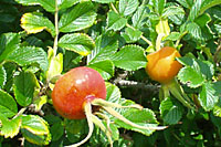 The one inch diameter fruit are effective for a week to ten days throughout the season.