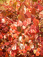 The leaves of Gro-low sumac turn reddish-orange to scarlet in the fall.