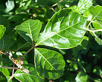 The shiny mint-green leaves of fragrant sumac arent affected by summer stress.