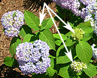 How to Grow and Prune Endless Summer Hydrangea - Terry L. Ettinger ...
