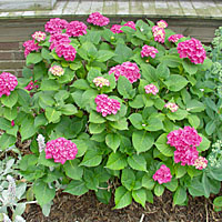 Why Don T Hydrangea Bloom Terry L Ettinger Horticulture