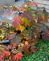 The fall foliage of oakleaf hydrangea is stunning!
