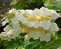 The cream-colored flowers of oakleaf hydrangea can be ten inches long.