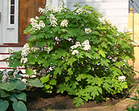 Oakleaf hydrangea grows into rounded shrub that matures at between five and eight feet tall and wide.