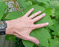 The oak-like leaves of oakleaf hydrangea are eight to ten inches long and wide.