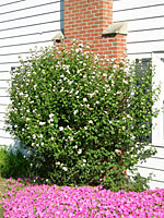 How To Prune Rose Of Sharon Terry L Ettinger