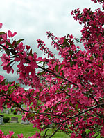 Magenta flowers of some crabapples can practically stop traffic in mid-May!