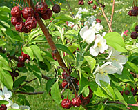The fruit of Red Jade crabapple remain on the tree until after the floowing years flowers fade!
