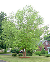 Multiple-stemmed river birch will mature at about fifty feet in height and width in thirty years.