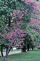 The reddish-purple blooms of redbud are common across Central New York in early May.