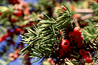 The bright red fruit borne on female forms of Taxus really stand out against their deep green foliage.