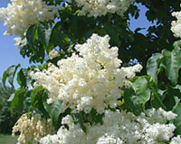 Tree Lilacs Terry L Ettinger Horticulture Consulting Services