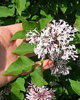Slightly larger than those of Dwarf Korean Lilac, the leaves of Miss Kim are slightly elongated and wavy on the edges.