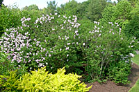 These Miss Kim lilacs at Cornell Plantations are approximately seven feet tall and wide.