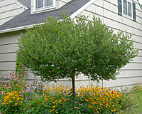 This ten year old grafted Dwarf Korean lilac is about eight feet tall and ten feet wide!